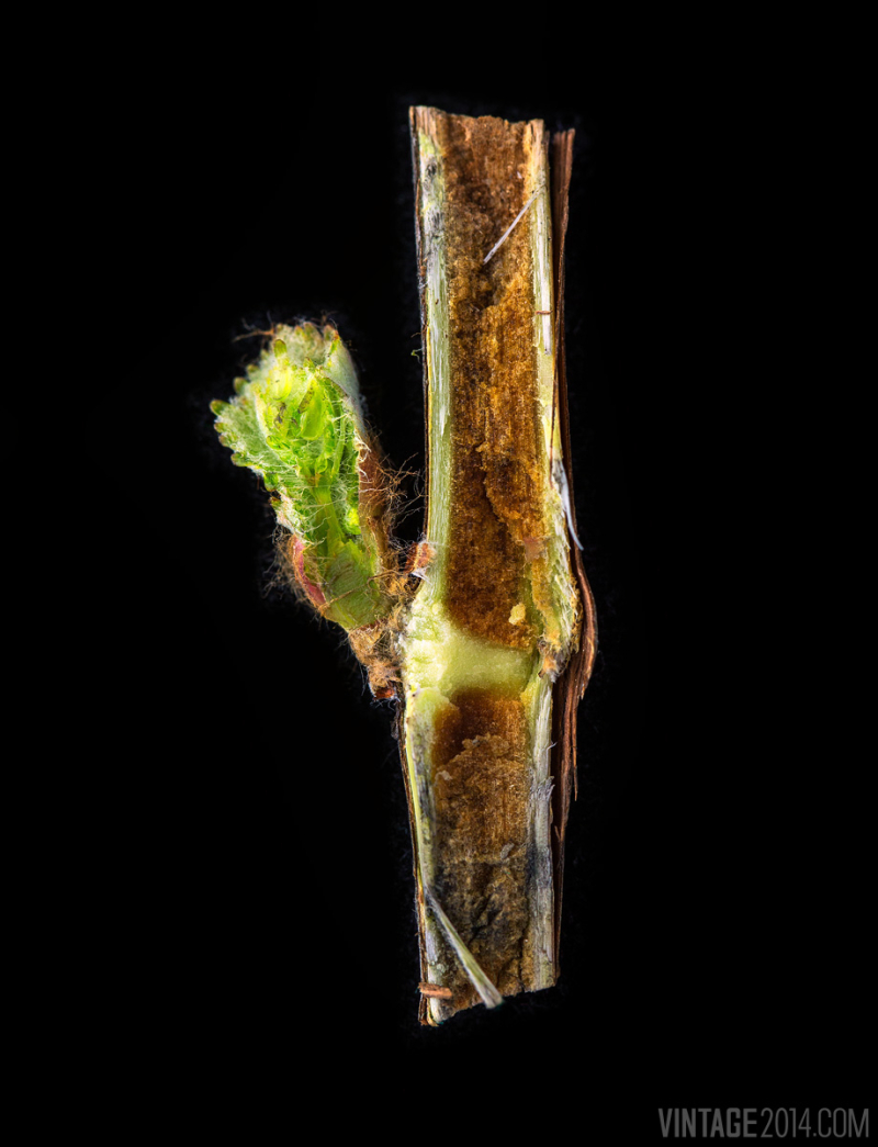 Bud-break-cross-section
